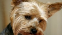 Focus on: The Yorkshire Terrier