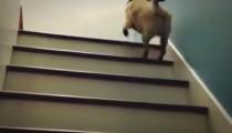 Pug climbs stairs