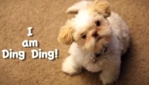 Have you met Ding ding the puppy?
