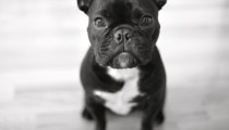 Zoom on: the French Bulldog
