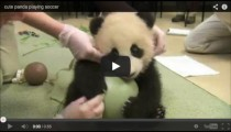 Animal video: The little panda & his ball