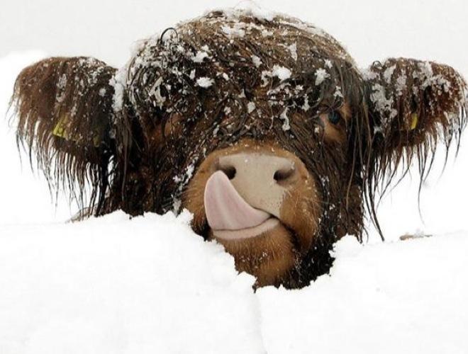 Photos drôles où touchante de toute animaux autres que les ânes ! Blog_yummets_buffle_neige_11_01_14.jpg