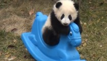 Baby panda having fun