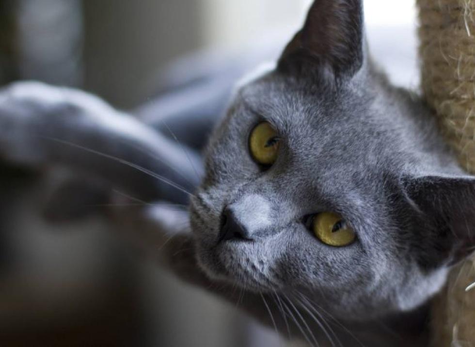 siberian persian cat
