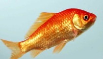 Breaking news: a goldfish operated of a brain tumour