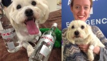 A dog is saved thanks to vodka