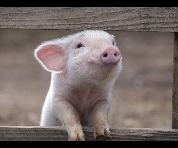 Image de cochon mignon - Image de cochon mignon ...