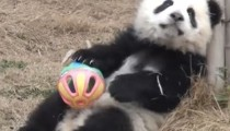 A baby panda playing with a ball