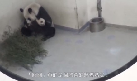 A baby panda stands up to his mother!