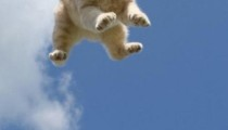 Why do cats always land on their paws?