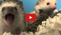 A hedgehog yawning!