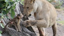When a lioness meets a baby baboon
