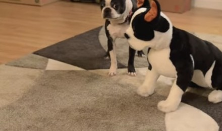 A boston terrier and his plush doppelgänger: awwwww