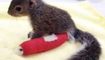 Have you ever seen a squirrel with a cast?