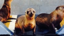 A sea lion found 160 km from the Pacific Ocean... in a ranch!