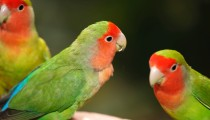 Zoom on: the Lovebird