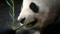 The only English Panda has been inseminated artificially