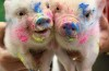 These 8 pigs will make your day!