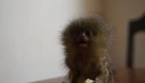 The smallest monkey in the world is treating himself with a macaroni!