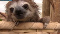 These sloths squealing will make you go