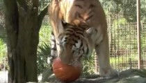 This compilation big cats playing with pumpkins is the funniest thing ever