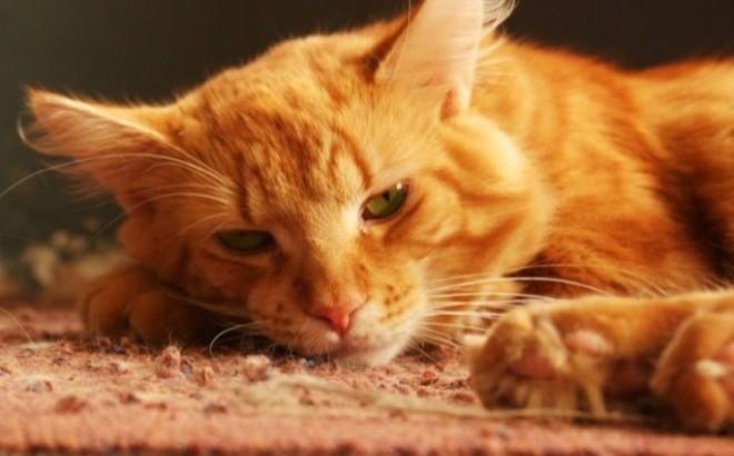 comment nettoyer pipi de chat