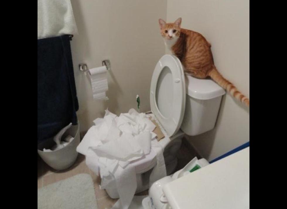 les meilleures photos de chats aux toilettes yummypets. Black Bedroom Furniture Sets. Home Design Ideas