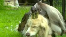 Ducks love this dog!