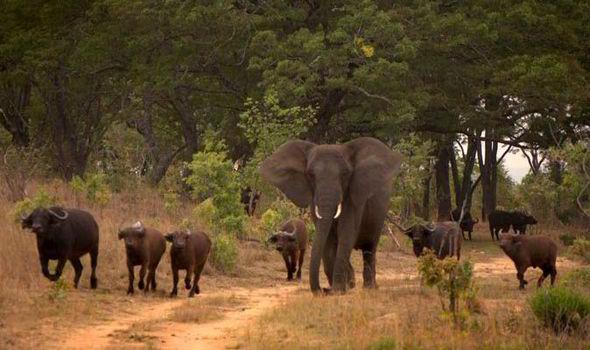 un éléphant adopté par une famille de buffles