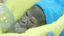 A newborn baby gorilla's first breaths