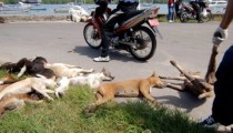 In Bali, government slaughters stray dogs