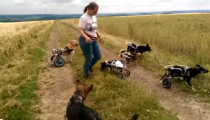 Dogs in wheelchairs playing fetch