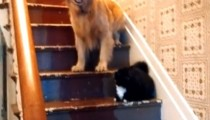 A big dog terrorized by a kitty