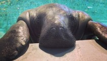 Meet Snooty, the world's oldest manatee
