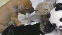 A baby cheetah and a puppy meet for the first time
