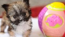 Meet Tyson, the tiniest puppy around!