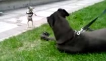 When the tiniest dog meet the biggest dog