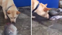 This Shiba Inu will bring you to tears