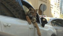 Owning a wild animal is the new trend in Dubaï