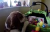 Charlie the beagle strikes again!