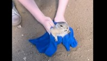 The rescue of a fat prairie dog stuck into a hole