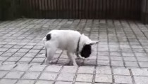This French bulldog loves the rain