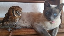 This cat's best buddy is an owl!