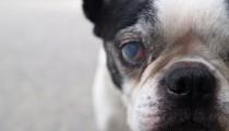 Cataract on elderly dogs