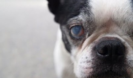 Cataract on elderly dogs
