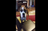 This boxer makes sheep's eyes to get what she wants!