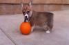 This corgi puppy loves his pumpkin!