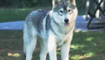 Focus on: the Siberian Husky