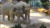 Elephants rescuing their cub