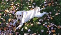 Labrador + fallen leaves = happiness